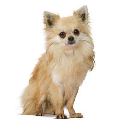 Cani di piccola taglia carattere e abitudini for Marsupio per cani di piccola taglia