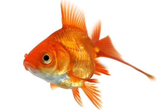Primo d 39 aprile da dove viene il pesce d 39 aprile for Pesci da laghetto mangia zanzare